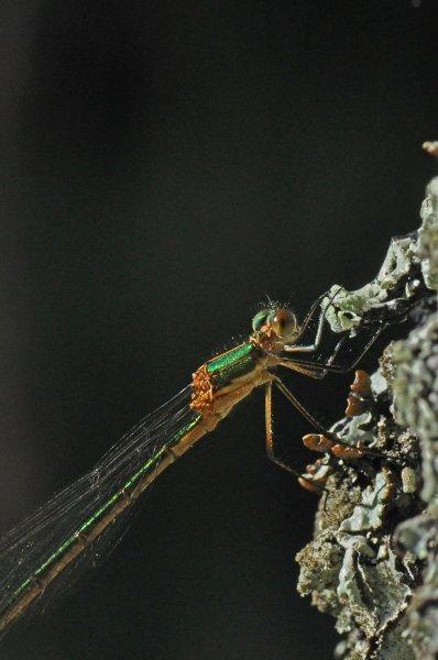 SmaragdFlick3.jpg