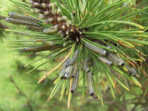 pinesawfly3.jpg